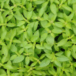 Royalty-Free Stock Photo: Lemon basil