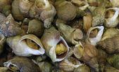 Whelks — Stock Photo