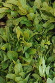 Stall of mentha on Cavaillon market in Provence — Stock Photo