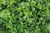 Stall of mentha — Stock Photo