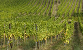 France, vineyard of Riquewihr in Alsace — Stock Photo