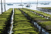 France, oyster farming on the coast of l Herbe — Stok fotoğraf