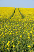 Val d Oise, a field of rape in spring — Stock Photo