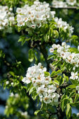 Beautiful spring blossoming pear tree — Stock Photo