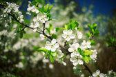 красивый весной цветущей яблони — Стоковое фото