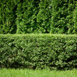 Green hedge background — Stock Photo