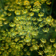 Blooming dill background — Stock Photo #8271669