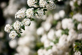 Background of little white flowers — Stock Photo