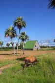 Three palms & an ox — Foto de Stock