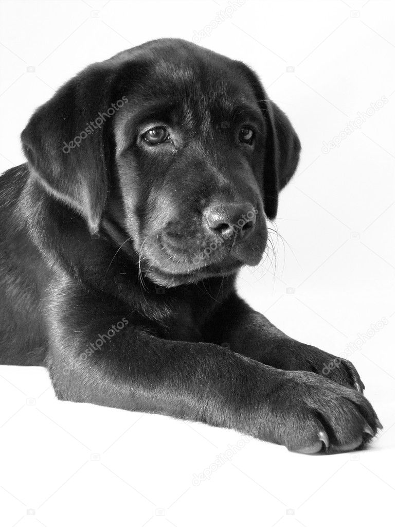 Black puppy dog on a white background  Stock Photo #8630763