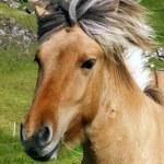 Iceland horse — Stock Photo