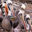 Pelicans — Stock Photo #8372032