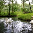 Swans and canal in the Spreewald — Stock Photo