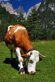 Bown and White cow eating on alps — Stock Photo