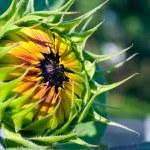 Sunflower sapling opening on the sun — Stock Photo