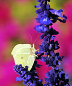 Close up of a yellow pieris brassicae butterfly on a blue flower — Stock Photo