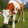 Curious cow standing on alps orizontal - Foto Stock