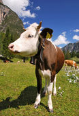 Calf brown and white on alps vertical — Stock Photo