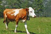 Koe bruine en witte lopen op Alpen — Stockfoto