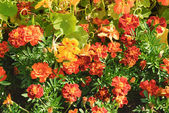 Marigold_1 — Stock Photo