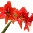 Red Amaryllis flower on white background — Stock Photo
