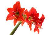 Red Amaryllis flower on white background — Stock Photo