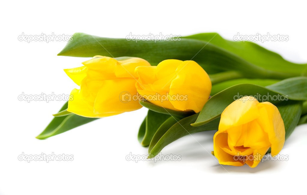Bunch of beautiful yellow tulips on white background  Stock Photo #9160337