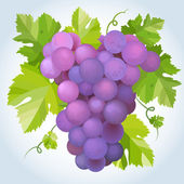 Black grapes — Stock Vector