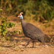 Helmeted Guineafowl - Stock Photo