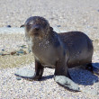 Cape Fur Seal - Stock Photo