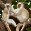 Stock Photo: Vervet Monkeys