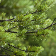 Pine branches — Stock Photo #8214479