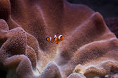 Clown fish — Stock Photo