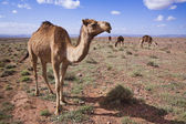 A few camels in desert — Stock Photo
