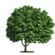 Isolated tree on white, horse chestnut (salix aesculus) - Stock Photo