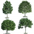 Set of four trees isolated against pure white — Stock Photo #8197746