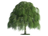 Isolated tree on white, Willow (salix) — Stock Photo