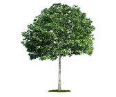 Isolated tree on white, Whitebeam (Sorbus) — Stock Photo