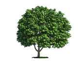 Isolated tree on white, horse chestnut (salix aesculus) — Stock Photo