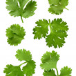Cilantro Parsley isolated on white — Stock Photo