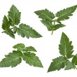 Tomato Leaves isolated on white - Stock Photo