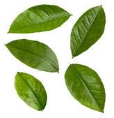 Lemon Leaves isolated on white — Stock Photo