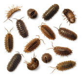 Sow Bugs Roly-Poly isolated on white — Stock Photo
