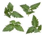 Tomato Leaves isolated on white — Stock Photo