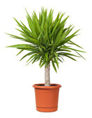 Yucca Potted Plant isolated on white — Stock Photo