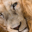 Lion Close Up - Stock Photo