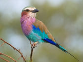 Lilac-breasted Roller — Stock Photo