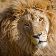 African Lion - Stock Photo