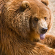 Stock Photo: Brown Bear