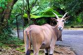Antelope in Indonesia — Stock Photo